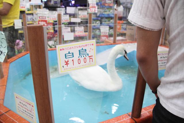 白鳥 100万円