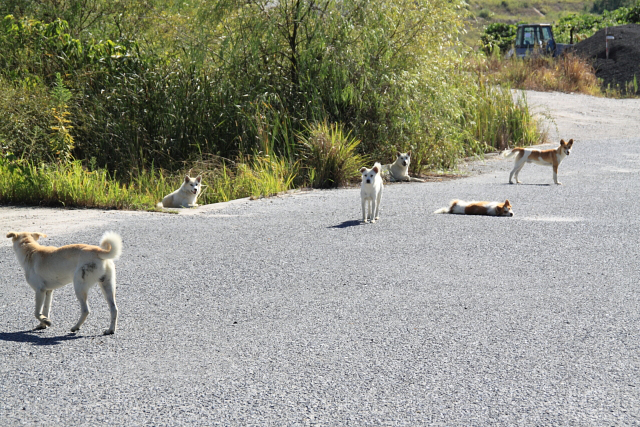 瀬戸で出会った野犬の群れ