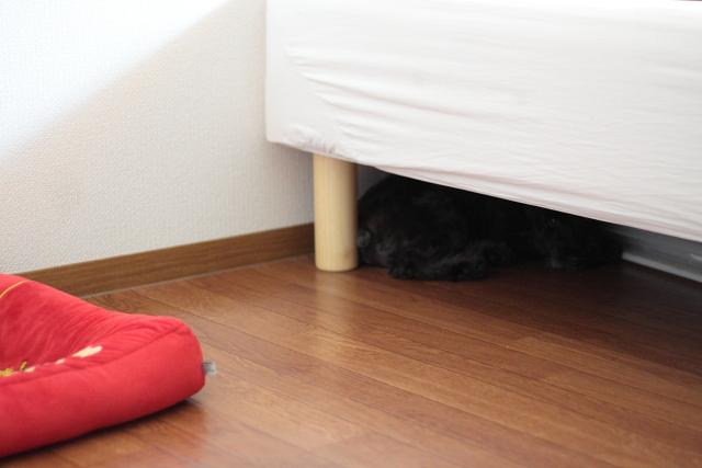 自分のベッドそっちのけでベッドの下で寝るエース