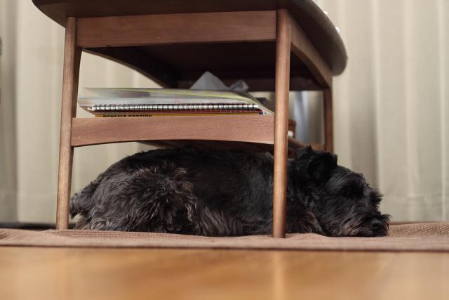 テーブルの下で寝るエース