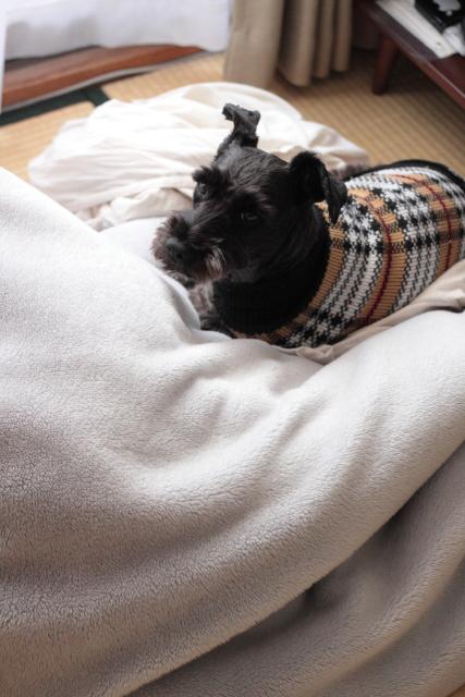 取り込んだ毛布でくつろぐエース