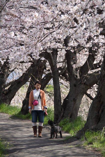 桜散歩なエース