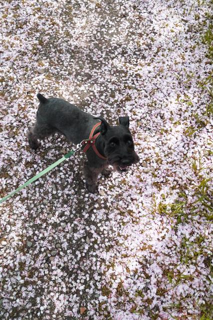 桜の絨毯なエース