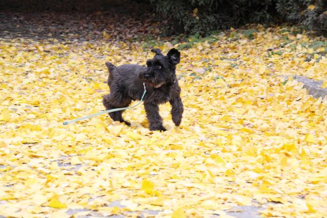 落ち葉絨毯なエース
